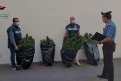 Carabinieri di Modugno sequestrano piantagione di canapa indiana: due arresti