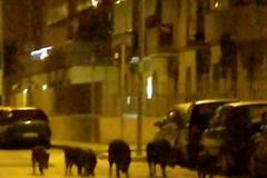 Una famiglia di cinghiali  a spasso per via Ancona
