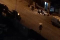 Aumentano i cinghiali al quartiere Cecilia. I residenti: 'abbiamo paura'