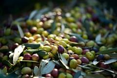 Puglia, crolla il prezzo delle olive. Emiliano scrive al ministro Bellanova