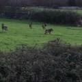 Pecore e capre sbranate dai lupi nelle campagne di Puglia, l'allarme di Coldiretti