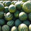 Maltempo in Puglia, KO pomodori, angurie e meloni