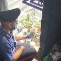 Modugno, coltivano marijuana sul balcone di casa: due denunce