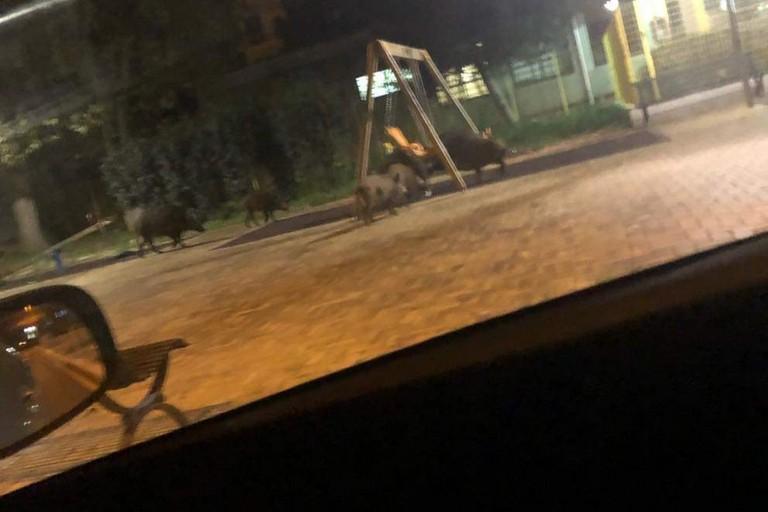 Ci risiamo : Cinghiali a spasso vicino alla scuola materna Collodi